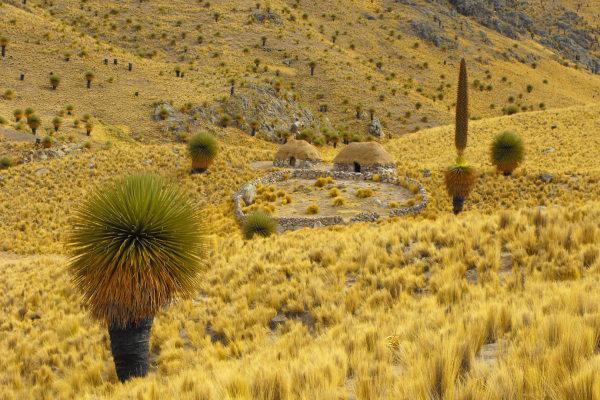 Puya de raimondi, Pérou, randonnées, voyages à pied, trekking, www.chiloe-voyage.fr, opérateur de tourisme