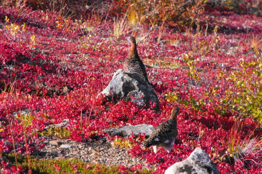 Lagopède. Yukon. Canada. Randonnées. Voyages. Trekking. www.chiloe-voyage.fr