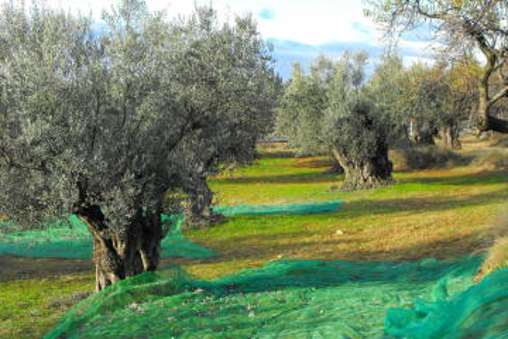 Alquezar, Sierra de Guara (Aragon). Cueillette des olives. Randonnées à pied. Voyages culturels. Espagne. Chiloe. www.chiloe-voyage.fr